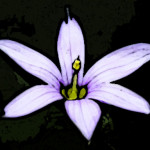 Blue-eyed Grass — a larger view of the little icon that appears (for me, at least) on the page tabs of this site.